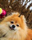 Συνεδρίαση σκυλιών Pomeranian στον τομέα καλαμποκιού με τα λουλούδια στο πίσω έδαφος Εποχή πτώσης Στοκ φωτογραφίες με δικαίωμα ελεύθερης χρήσης