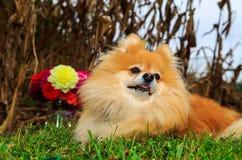 Συνεδρίαση σκυλιών Pomeranian στον τομέα καλαμποκιού με τα λουλούδια στο πίσω έδαφος Εποχή πτώσης Στοκ Εικόνα