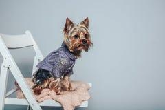 Συνεδρίαση σκυλιών Yorkie γοητείας στην έδρα στη αριστερή πλευρά της φωτογραφίας στοκ εικόνα με δικαίωμα ελεύθερης χρήσης