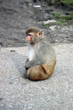 Συνεδρίαση του ρήσου μακάκου macaque μόνο Στοκ Εικόνες