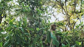 Συνεδρίαση του ρήσου μακάκου Macaque πιθήκων στο δέντρο απόθεμα βίντεο