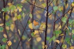 Συνεδρίαση του Robin στους κλάδους φθινοπώρου Στοκ Εικόνες