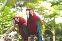 Συνεδρίαση Ara Μακάο δύο όμορφη ερυθρά macaws στον κλάδο δέντρων Στοκ Φωτογραφία