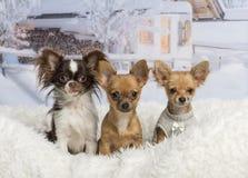 Συνεδρίαση Chihuahuas μαζί στην άσπρη κουβέρτα γουνών στο χειμερινό τοπίο Στοκ εικόνες με δικαίωμα ελεύθερης χρήσης