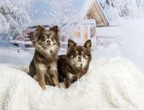 Συνεδρίαση Chihuahuas στη χειμερινή σκηνή Στοκ φωτογραφία με δικαίωμα ελεύθερης χρήσης