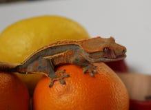Συνεδρίαση gecko ciliatus Rhacodactylus σε φρούτα που τακτοποιούνται σε έναν πίνακα στοκ εικόνες
