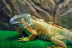 Συνεδρίαση Iguana στη χλόη Στοκ Εικόνες