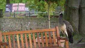 Συνεδρίαση Peacock στον πάγκο φιλμ μικρού μήκους