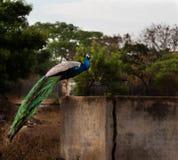 Συνεδρίαση Peacock στον τοίχο στοκ φωτογραφία με δικαίωμα ελεύθερης χρήσης