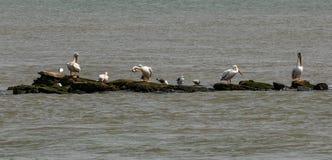 Συνεδρίαση Pelicians και seagull στον εκτεθειμένο βράχο ανωτέρω - νερό στοκ εικόνα