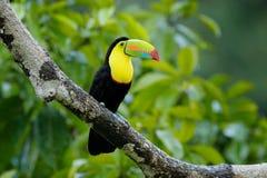 Συνεδρίαση Toucan στον κλάδο στη δασική, πράσινη βλάστηση, Κόστα Ρίκα Ταξίδι φύσης στην Κεντρική Αμερική Δύο καρίνα-τιμολογημένο  στοκ εικόνα με δικαίωμα ελεύθερης χρήσης