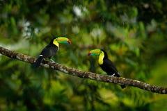 Συνεδρίαση Toucan στον κλάδο στη δασική, πράσινη βλάστηση, Κόστα Ρίκα Ταξίδι φύσης στην Κεντρική Αμερική Δύο καρίνα-τιμολογημένο  στοκ φωτογραφία με δικαίωμα ελεύθερης χρήσης