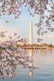 συνεχές μνημείο Ουάσιγκτον κερασιών ανθών Στοκ φωτογραφίες με δικαίωμα ελεύθερης χρήσης