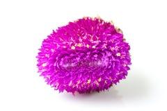 συνεχές λουλούδι Στοκ Εικόνες