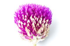 συνεχές λουλούδι Στοκ φωτογραφία με δικαίωμα ελεύθερης χρήσης