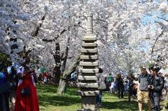 Συνεχές ρεύμα Washignton, Κολούμπια, ΗΠΑ - 11 Απριλίου 2015: Τα δέντρα κερασιών στην πλήρη άνθιση Στοκ εικόνα με δικαίωμα ελεύθερης χρήσης