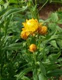 συνεχές helychrysum λουλουδιών immortelle strawflower στοκ εικόνα