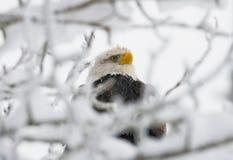 Συνεδρίαση αετών PBald σε ένα δέντρο ΗΠΑ albedo Ποταμός Chilkat στοκ φωτογραφίες