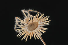 Συνεδρίαση αραχνών σε ένα ξηρό λουλούδι Στοκ Εικόνες