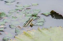 Συνεδρίαση βατράχων σε μια λίμνη Στοκ Εικόνες