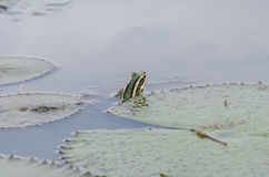 Συνεδρίαση βατράχων σε μια λίμνη Στοκ Εικόνα