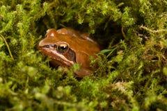 Συνεδρίαση βατράχων στην ενέδρα στο πράσινο βρύο Βάτραχος άνοιξη Itένας (dalmatina Rana) Στοκ εικόνες με δικαίωμα ελεύθερης χρήσης