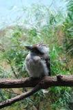Συνεδρίαση γέλιου Kookaburra σε έναν κλάδο δέντρων Στοκ Εικόνες