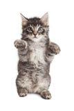 Συνεδρίαση γατακιών που αυξάνει επάνω τα πόδια Στοκ φωτογραφίες με δικαίωμα ελεύθερης χρήσης