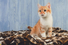 Συνεδρίαση γατών πιπεροριζών στο κάλυμμα καρό Στοκ Φωτογραφία