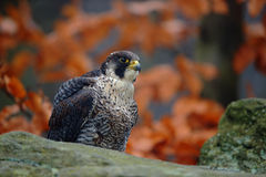Συνεδρίαση γερακιών πετριτών πουλιών του θηράματος στην πέτρα με το πορτοκαλί δάσος φθινοπώρου στο υπόβαθρο στοκ φωτογραφία με δικαίωμα ελεύθερης χρήσης