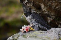 Συνεδρίαση γερακιών πετριτών στο βράχο με το πουλί σύλληψης, τρόφιμα στην πέτρα Στοκ φωτογραφία με δικαίωμα ελεύθερης χρήσης