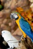 Συνεδρίαση ζεύγους macaws στο κούτσουρο Στοκ φωτογραφίες με δικαίωμα ελεύθερης χρήσης