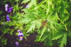 Συνεδρίαση λιβελλουλών στο πράσινο φύλλο Στοκ Φωτογραφίες