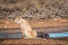 Συνεδρίαση λιονταριών δίπλα σε ένα waterhole Στοκ Φωτογραφία