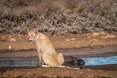 Συνεδρίαση λιονταριών δίπλα σε ένα waterhole Στοκ εικόνες με δικαίωμα ελεύθερης χρήσης