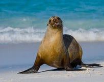 Συνεδρίαση λιονταριών θάλασσας στην άμμο galapagos νησιά ωκεάνιος ειρηνικός Ισημερινός στοκ φωτογραφίες