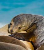 Συνεδρίαση λιονταριών θάλασσας στην άμμο galapagos νησιά ωκεάνιος ειρηνικός Ισημερινός στοκ φωτογραφίες με δικαίωμα ελεύθερης χρήσης