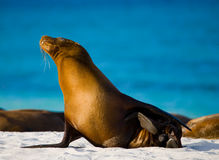 Συνεδρίαση λιονταριών θάλασσας στην άμμο galapagos νησιά ωκεάνιος ειρηνικός Ισημερινός στοκ φωτογραφία με δικαίωμα ελεύθερης χρήσης