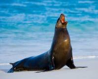 Συνεδρίαση λιονταριών θάλασσας στην άμμο galapagos νησιά ωκεάνιος ειρηνικός Ισημερινός στοκ εικόνες