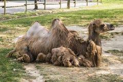 Συνεδρίαση καμηλών στο ζωολογικό κήπο Στοκ Εικόνα