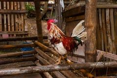 Συνεδρίαση κοκκόρων στο φράκτη Νησί Apo, Φιλιππίνες Στοκ Εικόνες