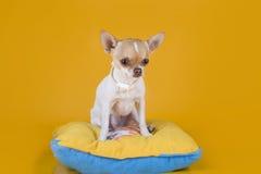 Συνεδρίαση κουταβιών Chihuahua σε ένα κίτρινο απομονωμένο μαξιλάρι υπόβαθρο Στοκ φωτογραφίες με δικαίωμα ελεύθερης χρήσης