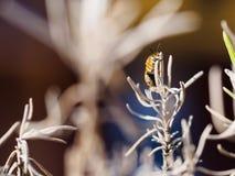 Συνεδρίαση μελισσών ξηρό lavender Στοκ φωτογραφίες με δικαίωμα ελεύθερης χρήσης