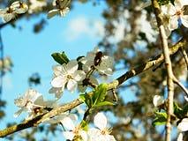 Συνεδρίαση μελισσών σε ένα ανθίζοντας δέντρο δαμάσκηνων Στοκ Εικόνα