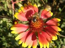 Συνεδρίαση μελισσών σε ένα λουλούδι Στοκ Εικόνες