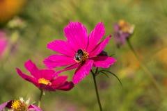 συνεδρίαση μελισσών σε ένα ρόδινο λουλούδι Στοκ Φωτογραφία