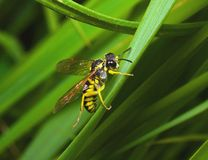 Συνεδρίαση μελισσών σε μια χλόη Στοκ φωτογραφία με δικαίωμα ελεύθερης χρήσης