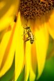 Συνεδρίαση μελισσών στον κίτρινο ηλίανθο Στοκ φωτογραφίες με δικαίωμα ελεύθερης χρήσης