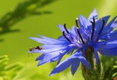 Συνεδρίαση μυρμηγκιών σε ένα λουλούδι cornflower στοκ εικόνες με δικαίωμα ελεύθερης χρήσης