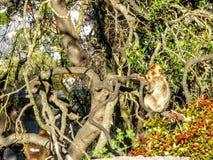 Συνεδρίαση πίθηκων πιθήκων Βαρβαρίας στο βράχο του Γιβραλτάρ, Ευρώπη στοκ εικόνα με δικαίωμα ελεύθερης χρήσης